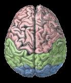 cerebro biología fisiología salud