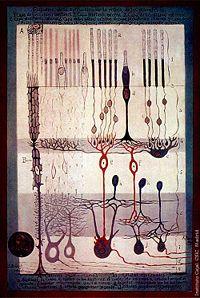 200px-Cajal_Retina