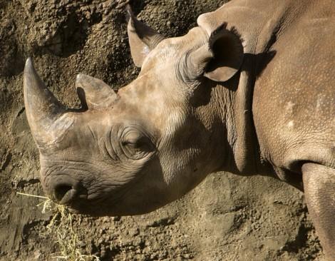 cuerno rinoceronte afrodisiaco?